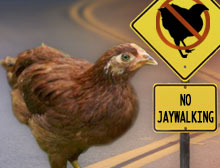 Jaywalking Chicken